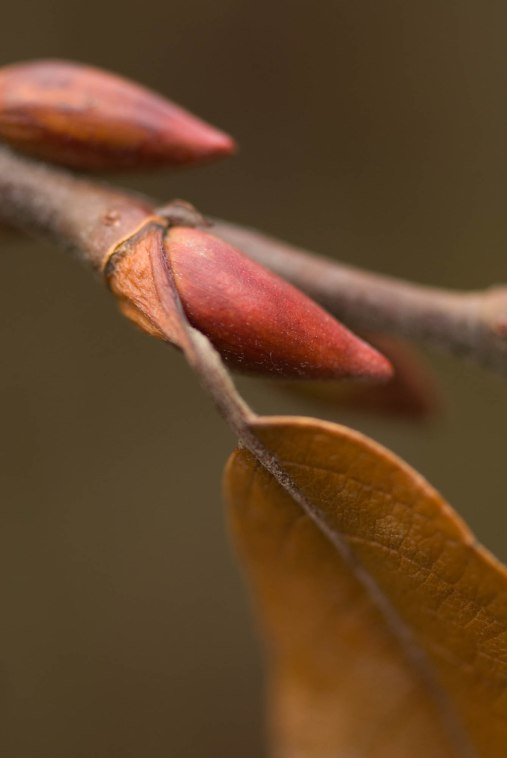 Pussywillow Buds