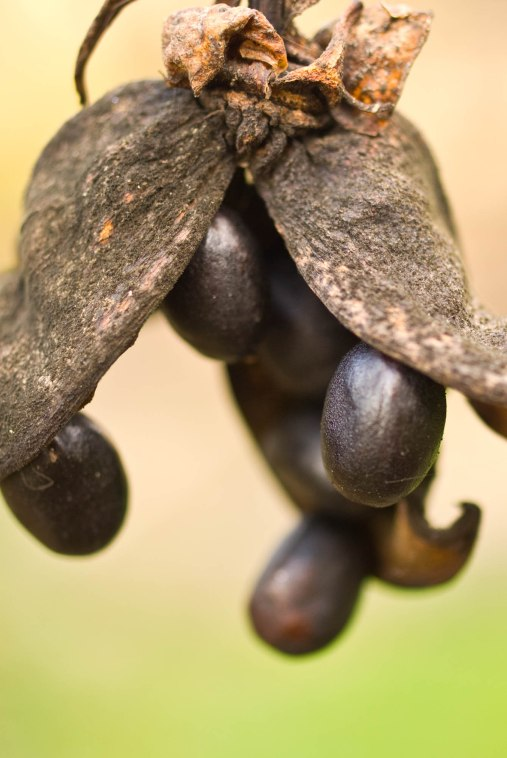 Peony Seeds