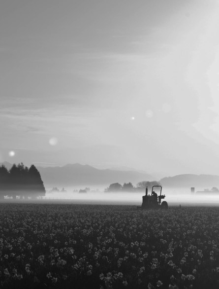 tractor in daffodil field at dawn
